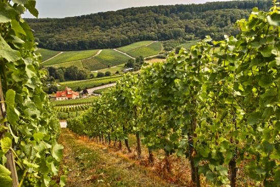 image = vineyard near Luxembourg