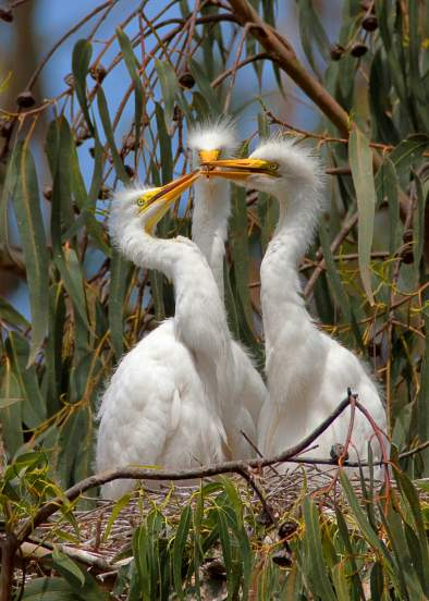 image 3 egret chicks