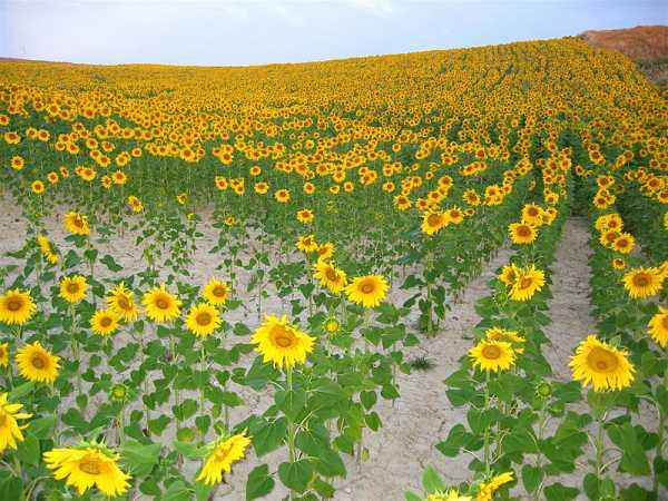 Cizur_Menor-sunflowers-chanceprojects.jpg