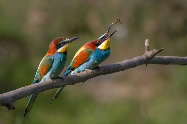 image Pair_of_Merops_apiaster_feeding