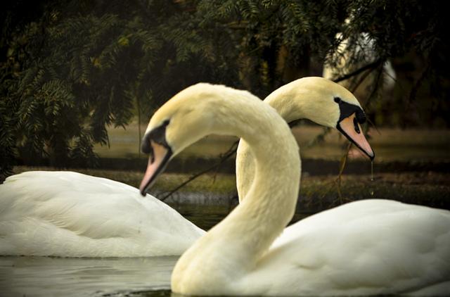 image swans