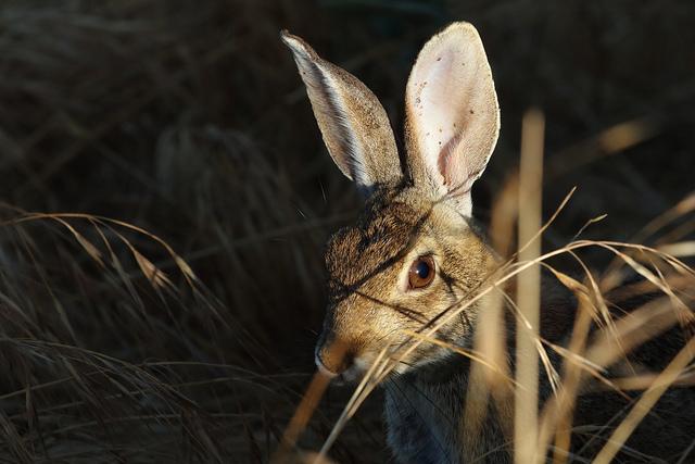 image wild rabbit