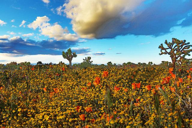 image desert in bloom