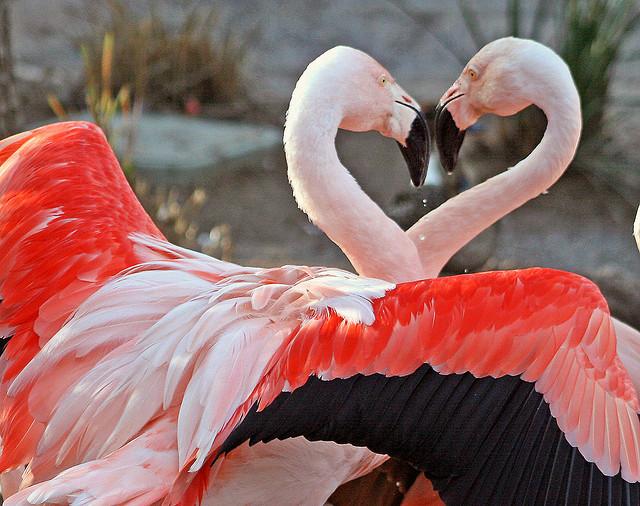 image flamingos